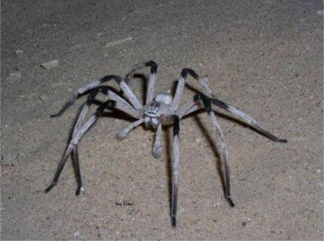 Гігантський павук Cerbalus aravensis