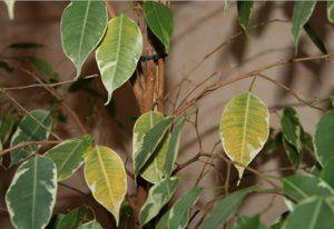 жовтіють листя