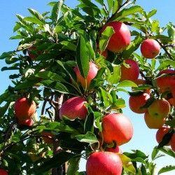Яблуня фото