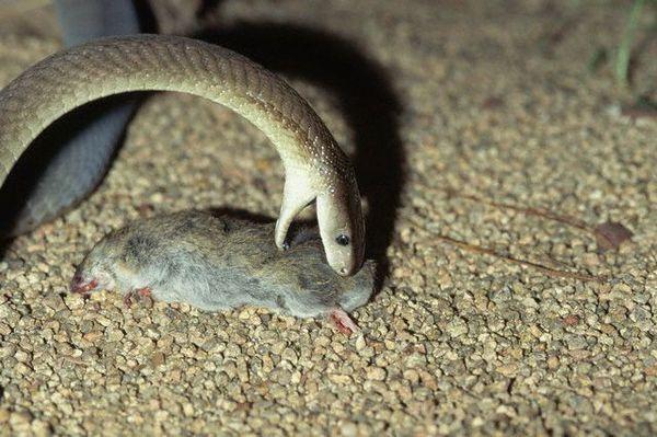 Чорна мамба закушує щуром.