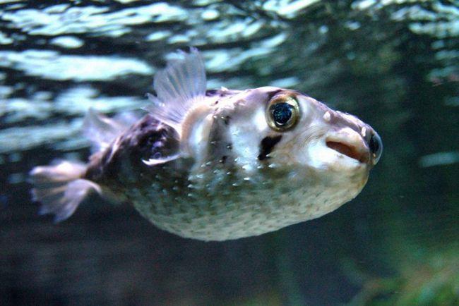 Длінноїглий риба-їжак (Diodon holocanthus).