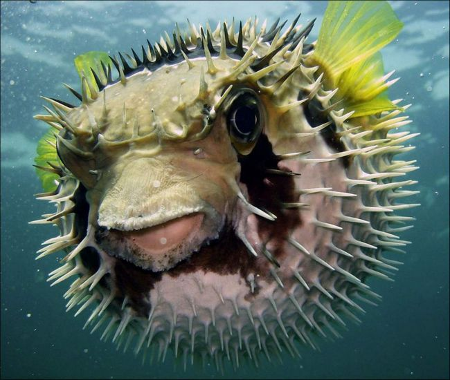 Шкіра та нутрощі рибки-їжака можуть бути отруйними через накопичення тетродотоксина.