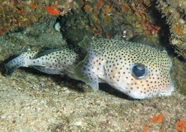 Близько 60% людей після контакту з рибою-їжак вмирають.