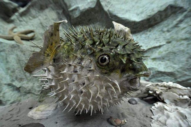 Риби-їжаки живуть у морській воді.
