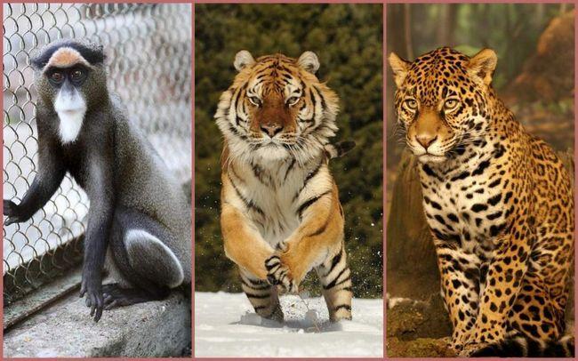 Ягуар, мавпа і тигр з Новосибірська вирушили шукати сім`ю.