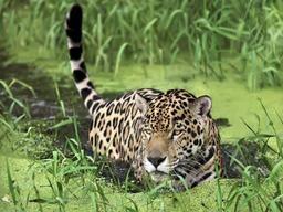 Ягуар тварина