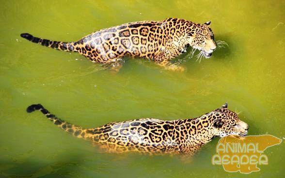 Ягуари прекрасні плавці