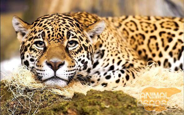 ягуар в неволі