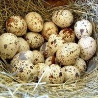 Яйця перепелів