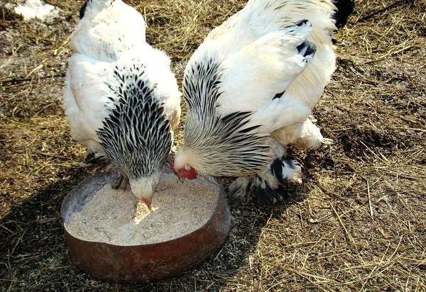 Кури їдять комбінований корм
