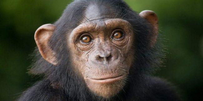 Шимпанзе вміють розпізнавати обличчя не гірше людей.