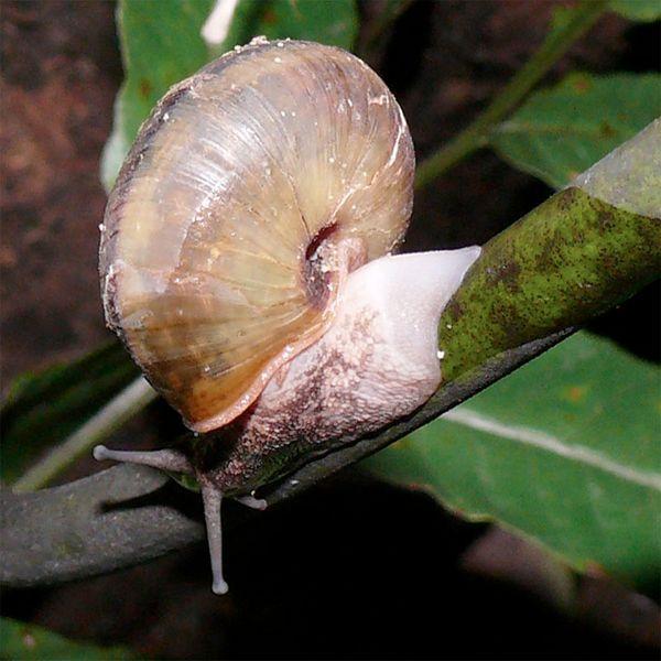 Улітку S. caliginosa, відкинувши шматок ноги (фото Dr. Masaki Hoso, Naturalis Biodiversity Center).