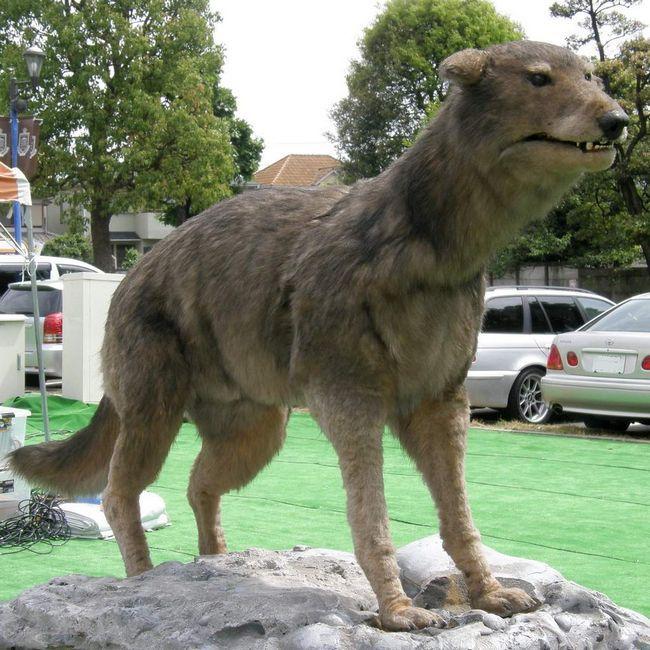 Японський вовк (Canis lupus hattai).