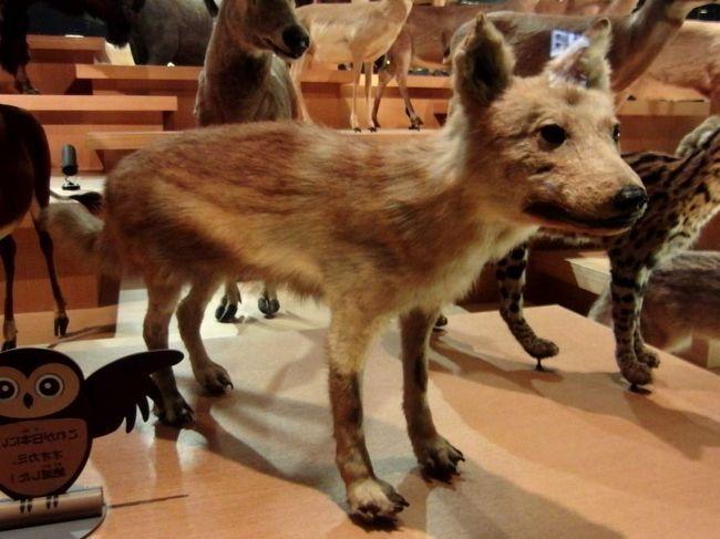 Японські вовки - невеликі звірки, які, на жаль, винищені.