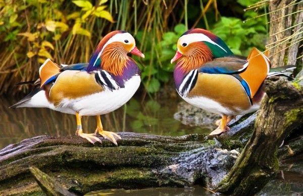 Де живуть качки-мандаринки