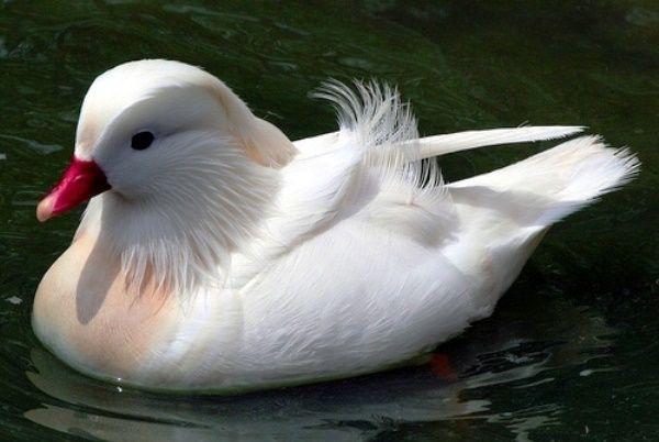 Качка мандаринка білого забарвлення