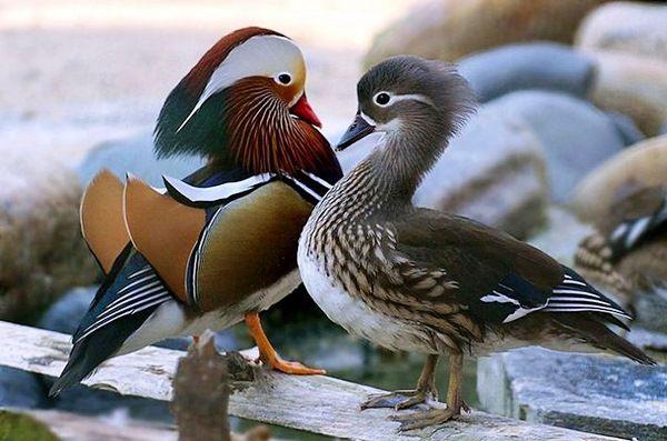 Самець і самка качок мандаринок