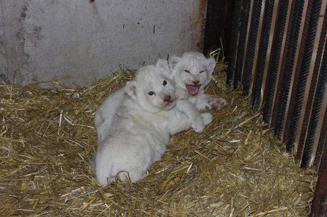 Білі левенята в Ярославському зоопарку.