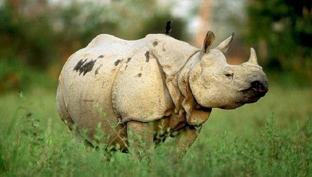 Яванський носоріг (Rhinoceros sondaicus).