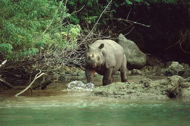 Довжина тіла дорослої яванского носорога становить до 3 метрів.