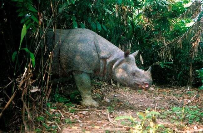 Носороги НЕ риють собі грязьові ями, замість цього вони користуються ямами інших тварин, слонів, наприклад.