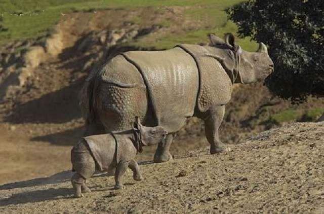 Тривалість життя яванского носорога становить 30-40 років.