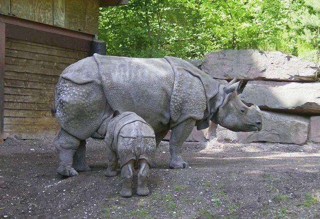Новонароджений носоріг відразу здатний самостійно пересуватися. Мати годує його молоком 1-2 роки.