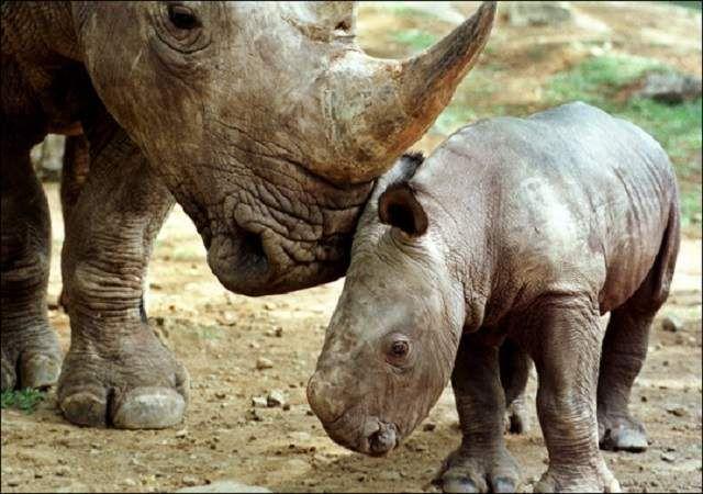 Незважаючи на стабільне розмноження яванських носорогів, їх чисельність не збільшується.
