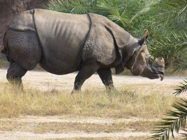 Коли у В`єтнамі закінчилася війна, яванських носорогів визнали вимерлими в Азії.