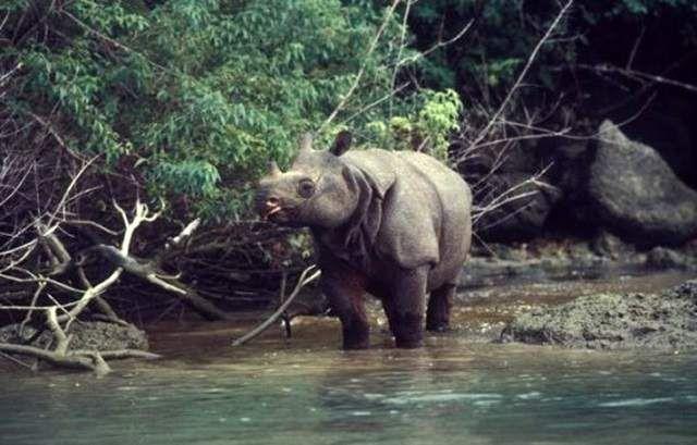 У 1931 році яванские носороги в Суматрі виявилися на межі вимирання, тому вони були внесені урядом до числа тварин, що охороняються.