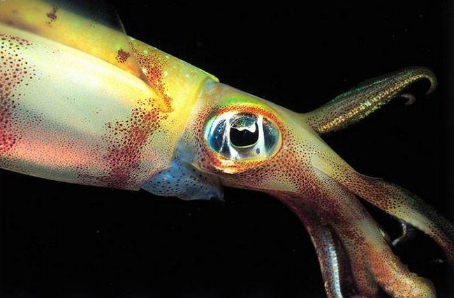 Очі кальмарів порівняно великі і за будовою наближаються до очей хребетних тварин. Їм також властиво бінокулярний зір, що дозволяє фокусувати погляд на видобутку і з великою точністю визначати відстань до неї