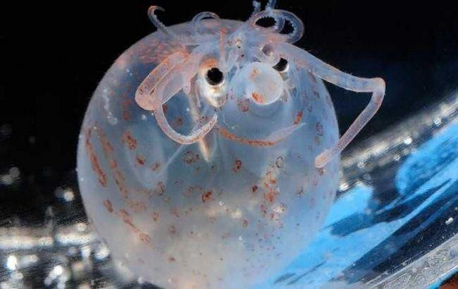 Карликовий кальмар-порося (Helicocranchia pfefferi) отримав свою назву за бочкообразную форму тіла і крихітний