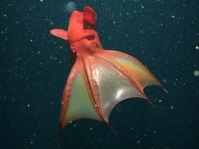 Пекельний кальмар-вампір (Vampyroteuthis infrnalis) досягає довжини всього 37 см і нічого демонічного в своїй зовнішності не має