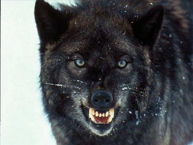 Мова і повадки вовків