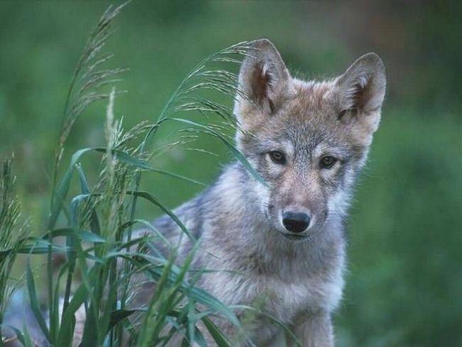 Цікаві факти про вовків