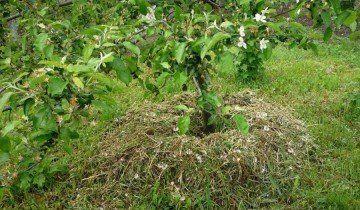 Мульчування груші, 1.bp.blogspot.com