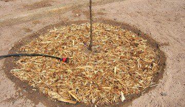 Замульчувати на зиму саджанець, 2.bp.blogspot.com