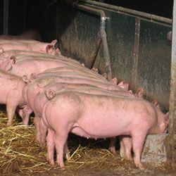 Ефективний відгодівлю свиней в домашніх умовах, види і особливості відгодівлі