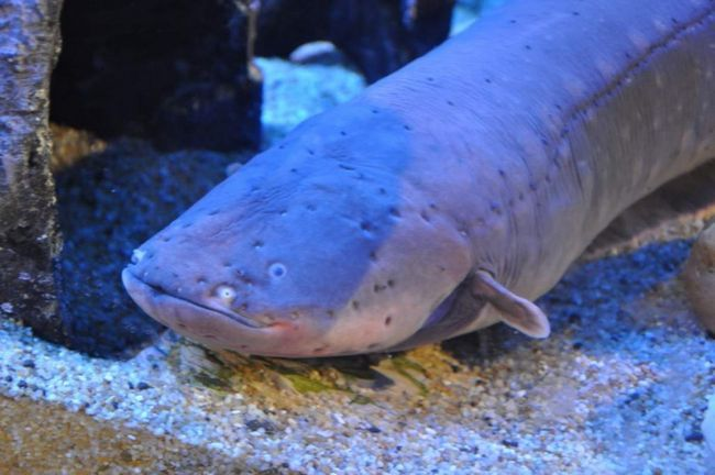 В одному акваріумі може жити лише одна особина, так як позашлюбний період навіть особини різної статі виявляють по відношенню один до одного агресію.