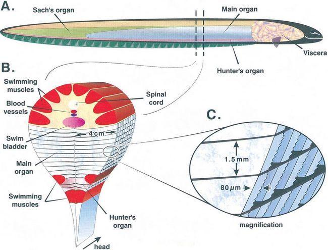 Електричний вугор (лат. Electrophorus electricus)