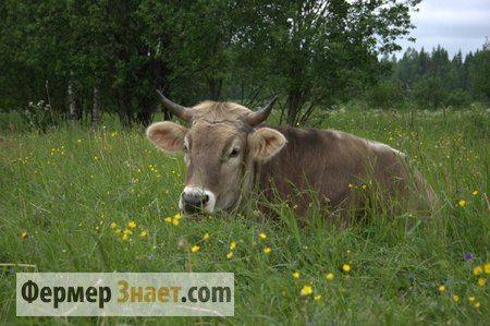 Ендометрит у корів: на замітку фермеру