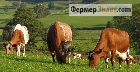 Корови молочного напряму