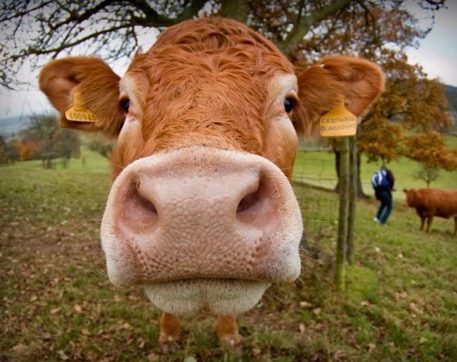 ендометрит у корів