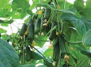 Бажано вирощувати розсаду для сорту «Еколь»