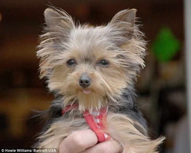 Йоркширський тер`єр - найменша службова собака в світі