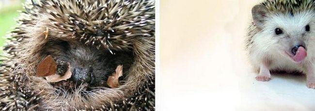 Їжак - загальновідомий по зовнішності звір, чия спина і боки покриті короткими темними або світлими голками.