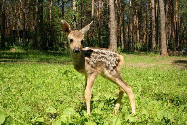 Дитинча кабарги - не найскладніша видобуток для лісових хижаків.