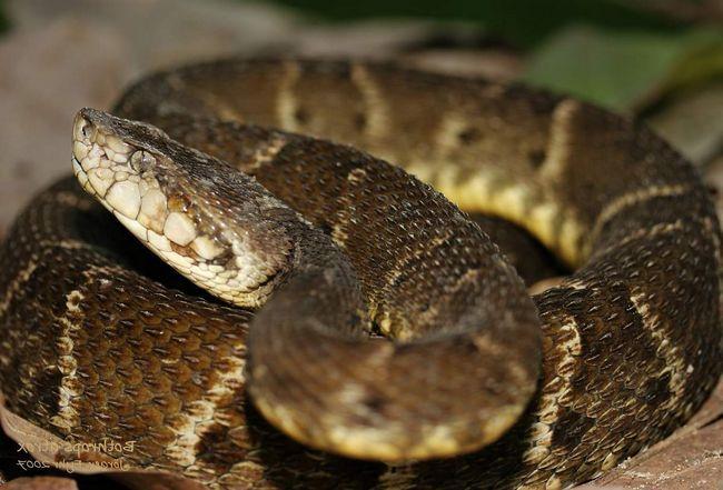 Кайсака - найнебезпечніша змія америки