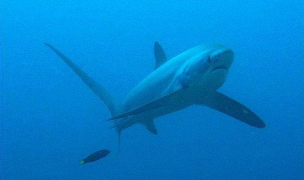 Акула-лисиця і губан
