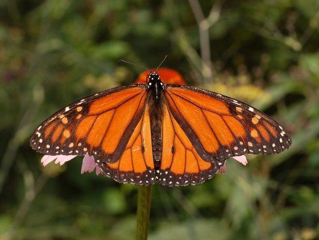 Під час міграції метелика-монархи орієнтуються по магнітних полях